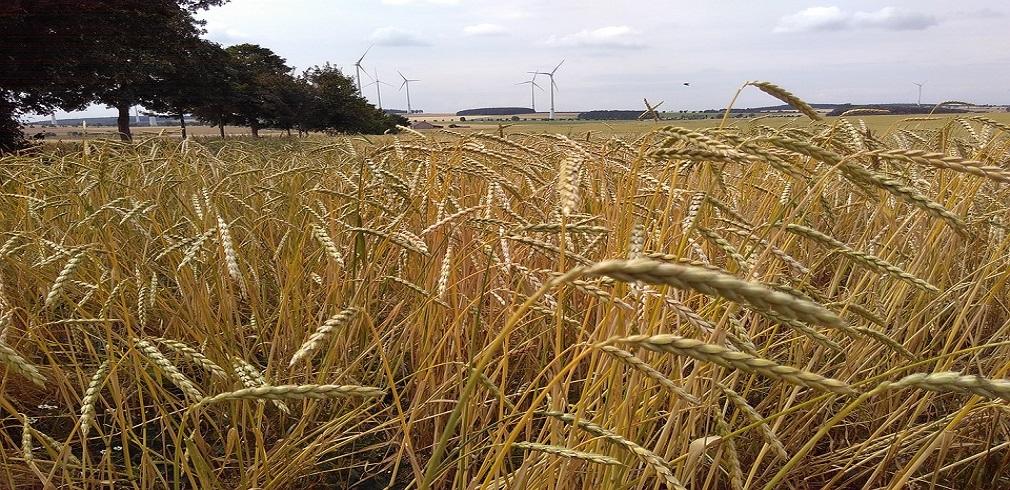 Campo di grano biologico