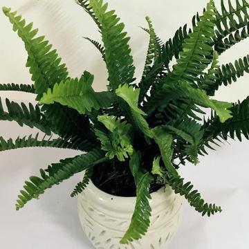 """pianta di Nephrolepis exaltata """"Bostoniensis"""""""