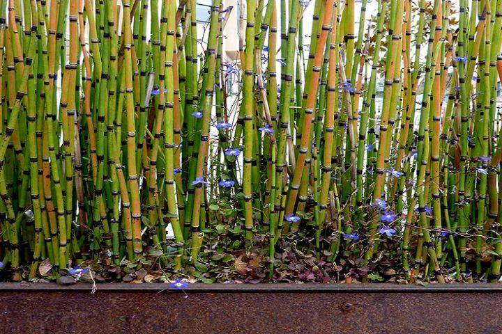 Palma di bambù