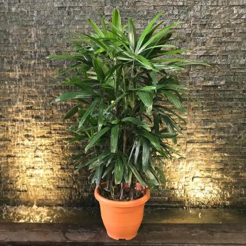 pianta di Raphis