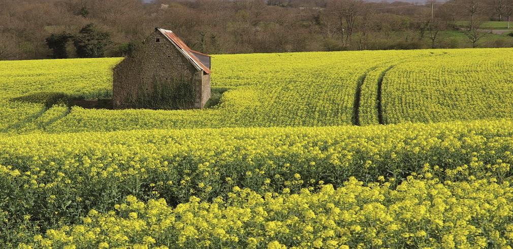 campo di colza