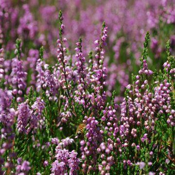 Fioriture primaverili: Conifere, azalee, dalie, ortensie ma soprattutto rododendri compongono un caleidoscopio di fiori, profumi, colori e sfumature tutto da vivere fra maggio e giugno.