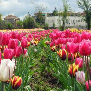 Fioriture primaverili: Parco dei tulipani, Scandicci (Firenze)